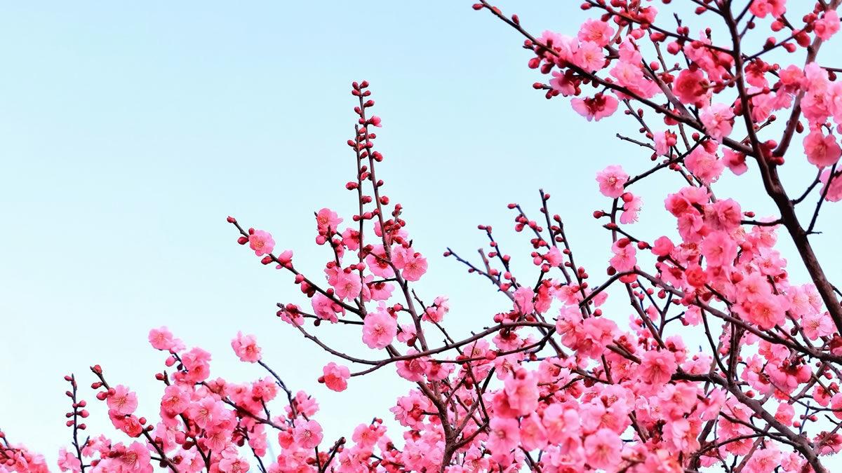 向島百花園 梅まつり