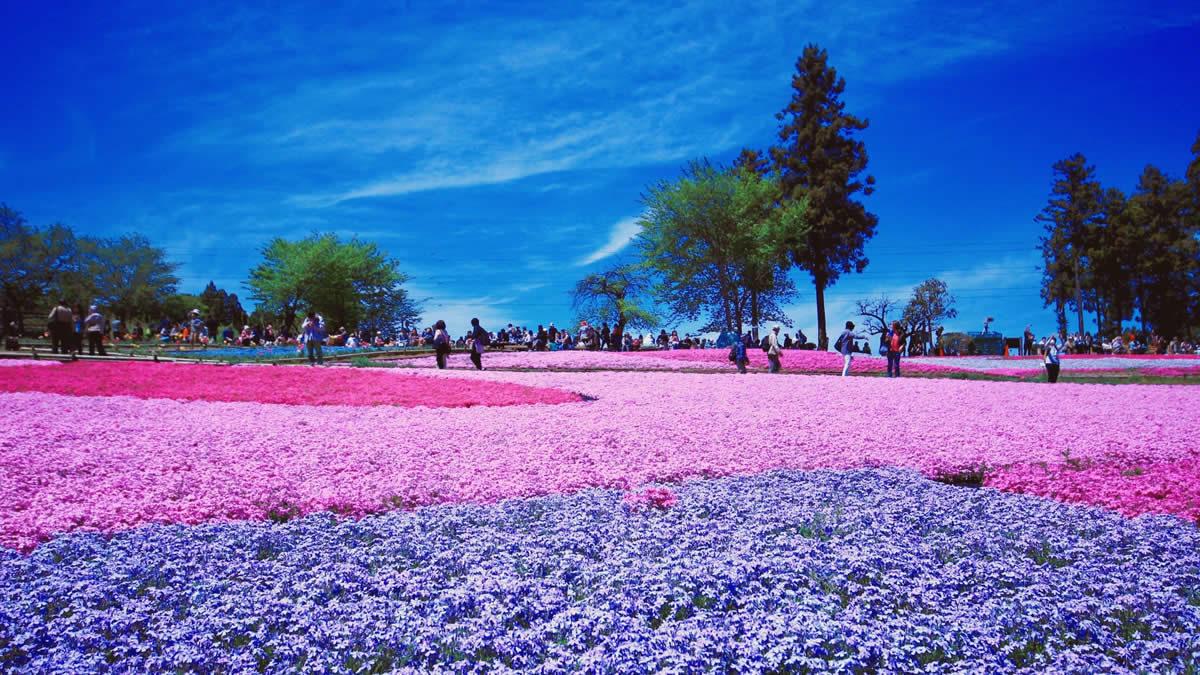 秩父 羊山公園 芝桜まつり