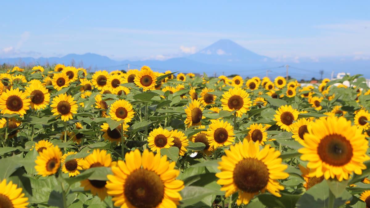 長井海の手公園ソレイユの丘 ひまわり