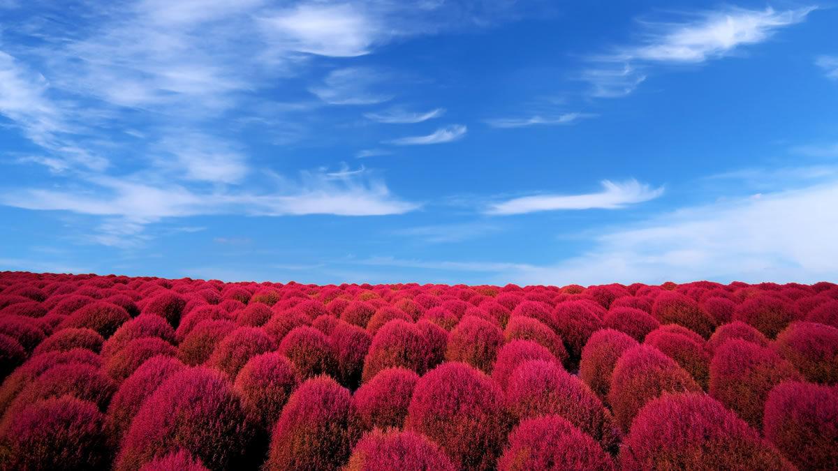 国営ひたち海浜公園 コキアの紅葉が見ごろに