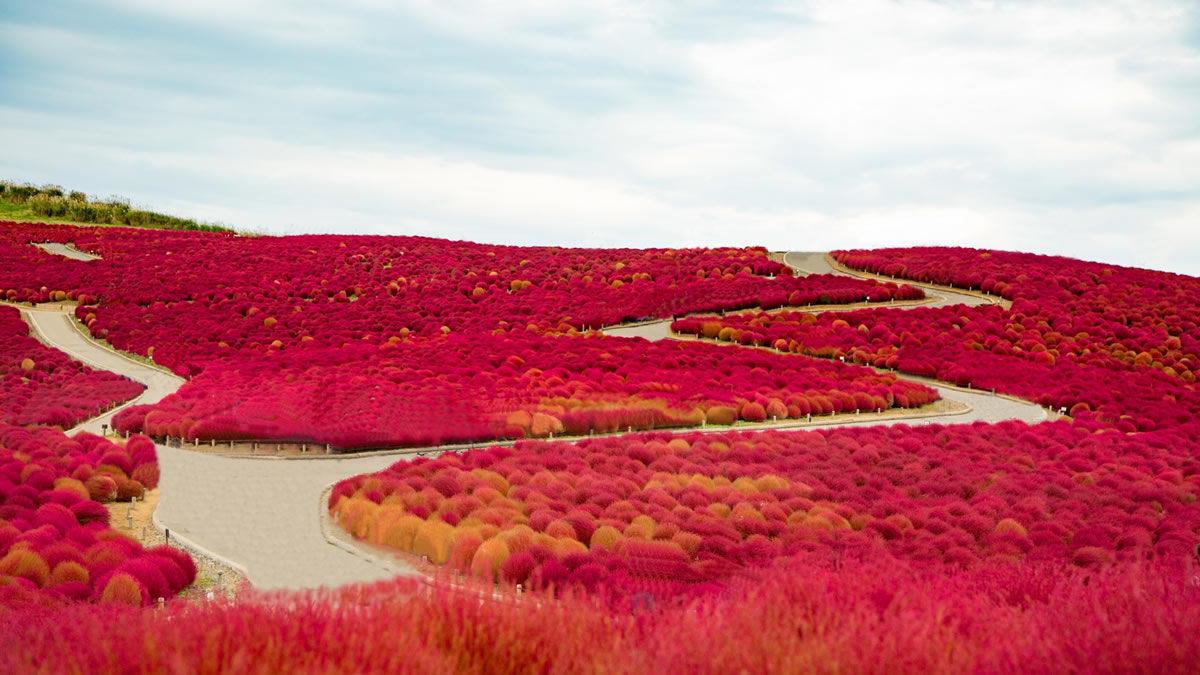 国営ひたち海浜公園 コキアの紅葉