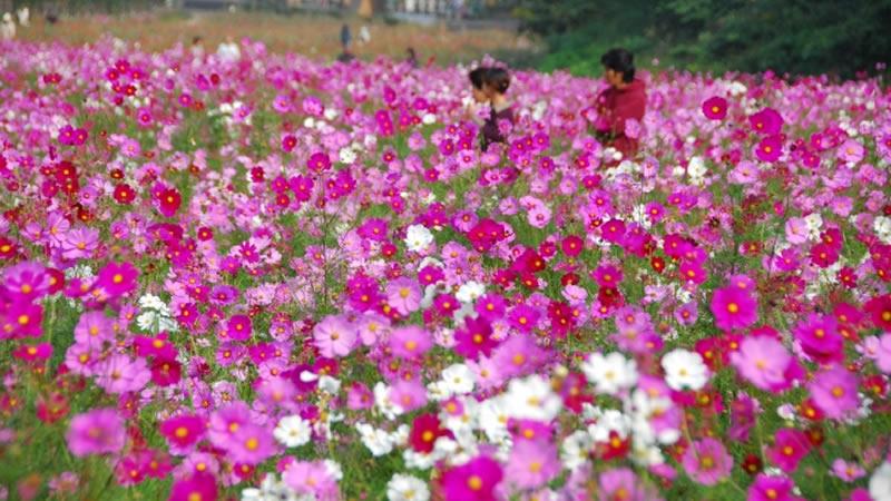横須賀 くりはま花の国 コスモス園オープン