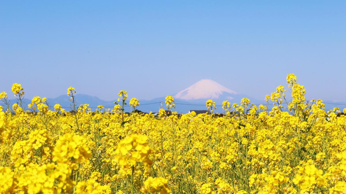 長井海の手公園ソレイユの丘 菜の花
